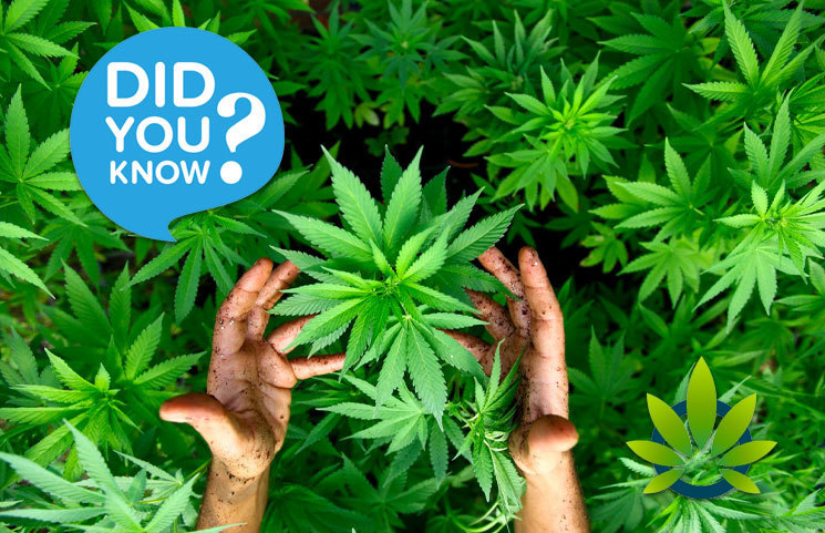 25-Fascinating-Facts-About-Cannabis-All-Marijuana-Aficionados-Should-Know-About-In-2019