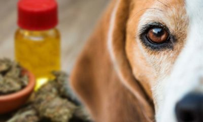 Is CBD Oil Safe for Dogs? Know the Dangers of Cannabidiol for Pet Products
