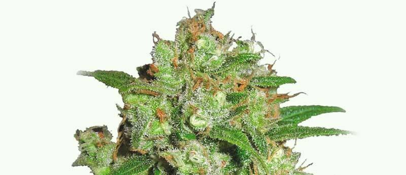 Marijuana, Hemp And Cannabis Glossary: Ultimate User