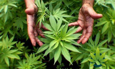 understanding marijuana industrial hemp and the meaning