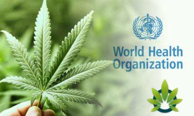Will The World Health Organization (W.H.O.) Reclassify Cannabis?