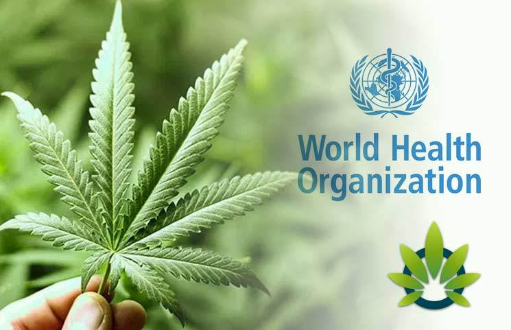 Will The World Health Organization (W.H.O.) Reclassify Cannabis?