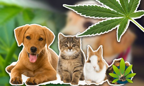 [VIDEO] Watch a New Pets and Pot Video to See Why CBD Oil is Helping Animals with Ailments