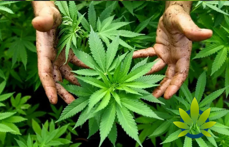 origin of cannabis