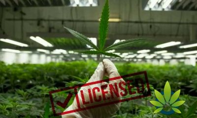 Can Cannabis Licensing Help Grow the Medical Marijuana Industry to New Highs?