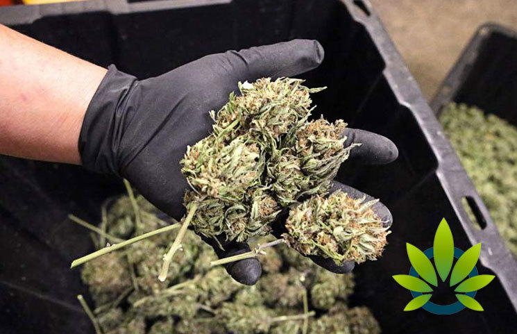 Growing Hemp in Oregon is Exploding But Could Lead to Pot Production Problems