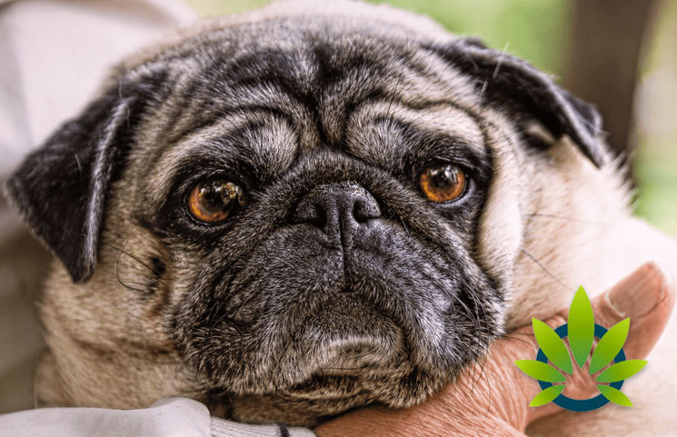 Efficacy of Cannabidiol Treatment for Dog's Epilepsy Study Results Shown