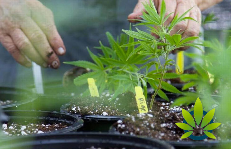 compassionate cultivation and in house breeding program
