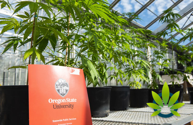 Global Hemp Innovation Center Set Up In Oregon State University to Research Medical Cannabis