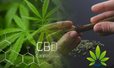 Long Time Cannabis Supporters are Progressively Shifting to CBD vs THC Compound