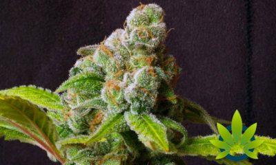 Natural Cannabis or FDA-Approved Synthetic Marinol (Generic Dronabinol)?