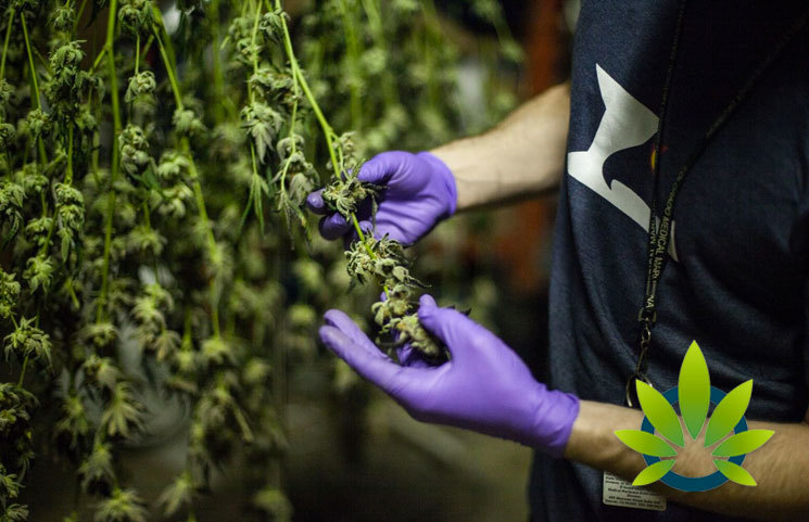 Colorado Department of Agriculture (CDA) Unveils 10 New Acceptable Pesticides on Cannabis