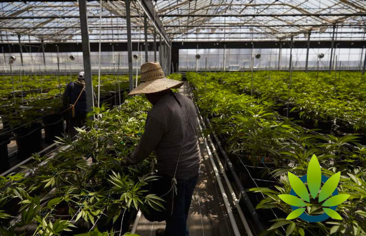 California Cannabis Cultivation Licenses on the Rise as