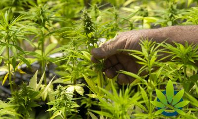 Virginians Granted Consent to Grow Commercial Hemp, 800+ Applications to Date
