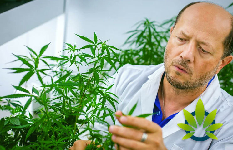 Abundance-of-Cannabis-Study-Requests-Leave-Researchers-Swamped