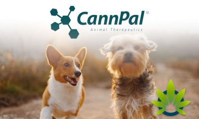 CannPal Announces Launch of Phase 2 Pilot Study of CBD-Derived Osteoarthritis Drug for Dogs