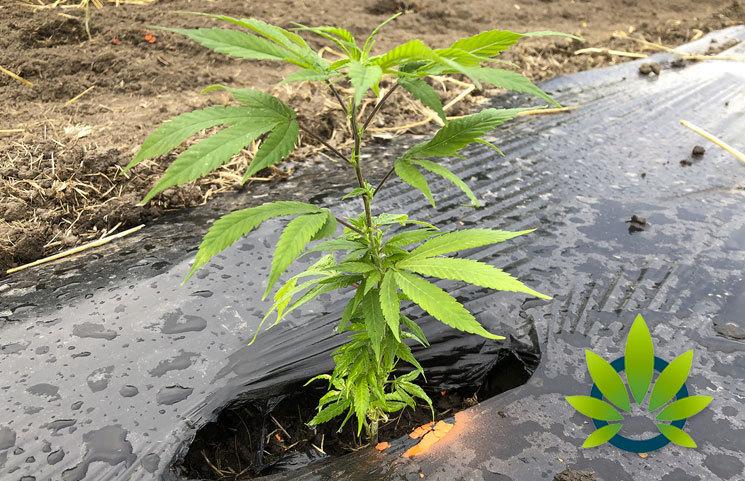 Global CBD Believes Current Hemp Growing Methods May Clear Algae Blooms on Idaho Lakes