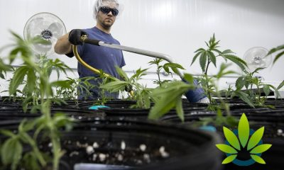 Government-not-fazed-even-after-Australia-accidentally-imports-illicit-cannabis