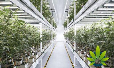 Medical-Marijuana-Growth