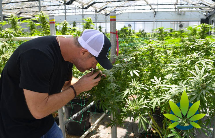Neighbors of Buellton Area Cannabis Cultivation Site Request Authorities to Reconsider Possible Drawbacks