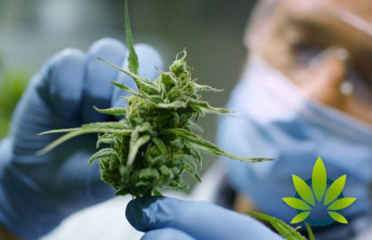 New Cannabis Pain Relief Study Concludes Marijuana Flower's Potency is Best Pain Relief Benefits
