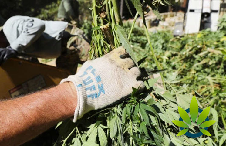 Pennsylvania Hemp Plant Farmers Experiencing Thieves Stealing It in Hopes of Getting Marijuana