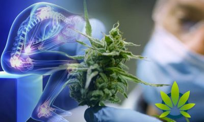 Study-Shows-Increased-Interest-in-Marijuana-and-Cannabinoids-for-Pain
