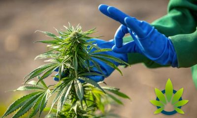 Turning-Irelands-State-Owned-Bogs-into-CBD-and-Cannabis-Hemp-Farms