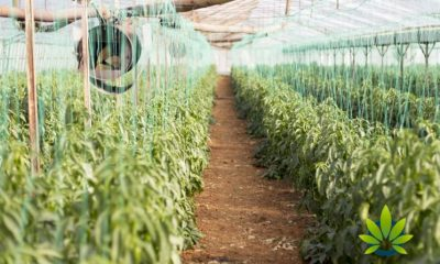 First-Harvest-and-Order-by-Tilray-E.U.-Campus-Has-Been-Officially-Delivered