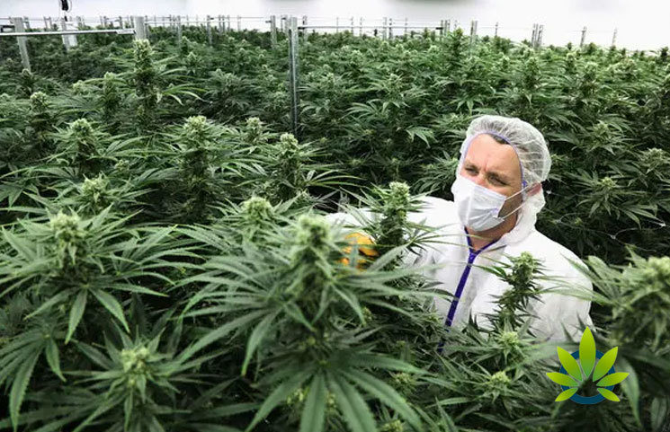 Marijuana Legalization Plans to Be Coordinated by Northeast Government