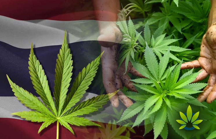 New Cannabis Breed Made by Chiang Mai University in Thailand, a First-Ever for ASEAN Countries