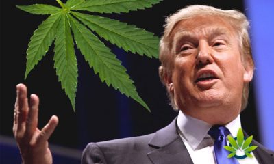 "Donald Trump Believes That Consumers Can ""Lose IQ Points"" By Using Cannabis"