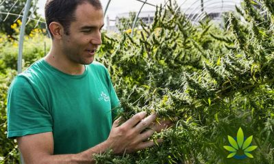 Billions Worth of Hemp Crops May Be Lost Due to Inexperienced Farmers: Whitney Economics