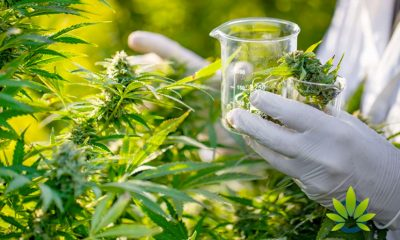 Dr. Ed Reports 80% of Brits Deem CBD and Cannabis As Being One