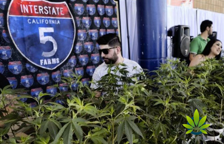Marijuana-Growers-in-California-to-Be-Greatly-Affected-by-The-Power-Blackout-In-The-State