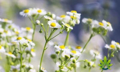Bisabolol Terpene: A Brief Look at this Essential Cannabis Ingredient