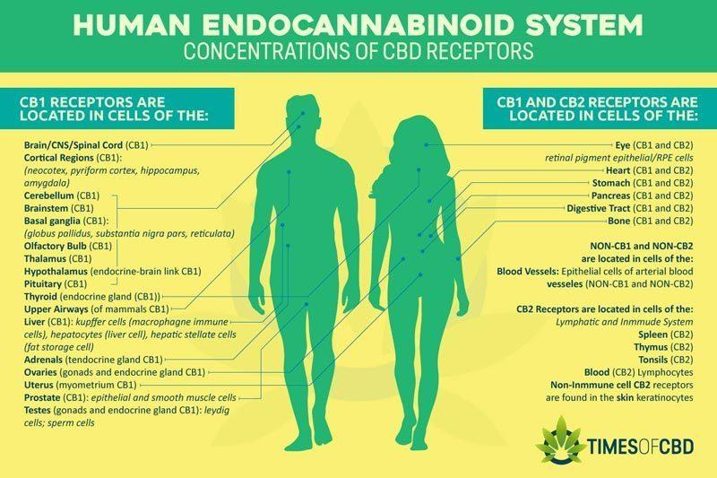 cb1-cb2-endocannabinoid-system-receptors
