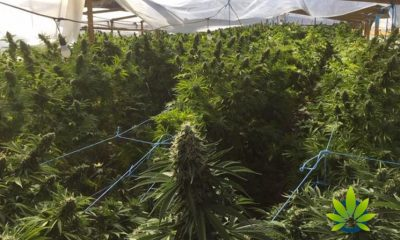 Drug Enforcement Administration on Kentucky's Illicit Cannabis Plant Growth