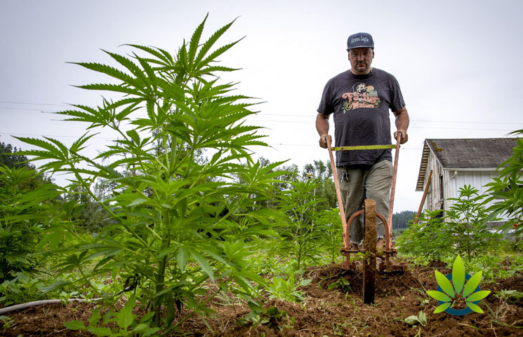 First-Time Hemp Farmers Find No Boom as CBD Product Market Swings Tides