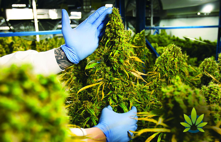 Cannabis Industry Investors Are Likely to Earn Low Profits in The Third-Quarter
