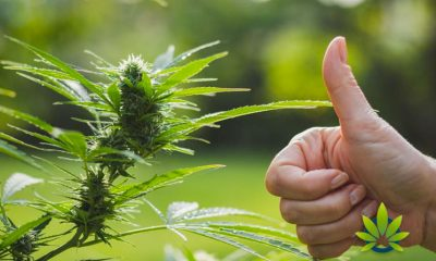 Study-Reveals-the-Terms-Marijuana-For-Cannabis-Will-Not-Boost-Legalization-Support