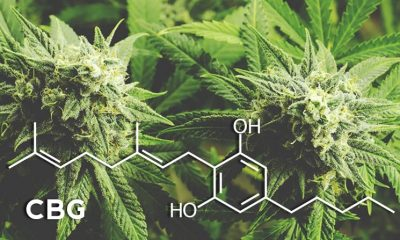 CBG (Cannabigerol), the Stem Cell Cannabinoid, May Rival CBD (Cannabidiol) Market Share