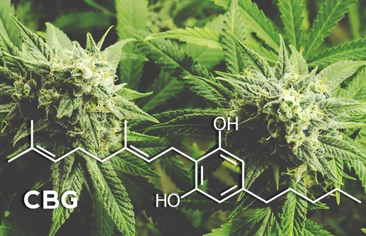 CBG (Cannabigerol), the Stem Cell Cannabinoid, May Rival CBD (Cannabidiol) Market Share